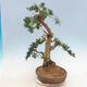 Outdoor bonsai - Juniperus chinensis - chiński jałowiec - 3/6