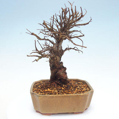 Outdoor bonsai - Zelkova - Zelkova NIRE - 3