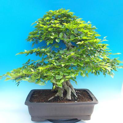 Na zewnątrz bonsai-Karpiny KARPINOWE - Koreański Grab - 3