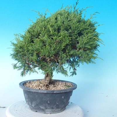 Odkryty bonsai - Juniperus chinensis ITOIGAWA - chiński jałowiec - 3
