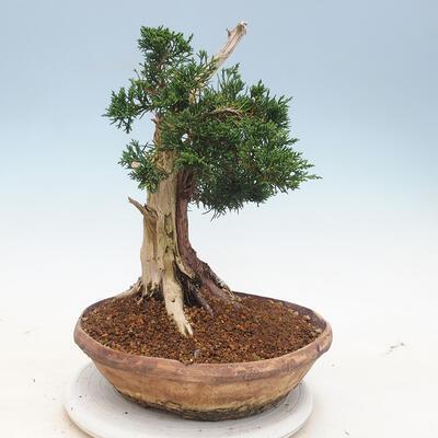 Outdoor bonsai - Juniperus chinensis - chiński jałowiec - 3