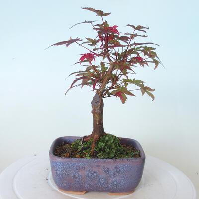 Bonsai outdoor - Maple palmatum DESHOJO - Maple palmate - 3