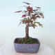 Bonsai outdoor - Maple palmatum DESHOJO - Maple palmate - 3/5