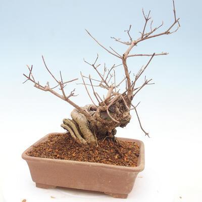 Outdoor bonsai - piękny Callicarpa - 3