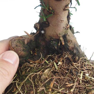 Outdoor bonsai - Taxus bacata - Cis czerwony - 3