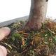 Outdoor bonsai - Taxus bacata - Cis czerwony - 3/3