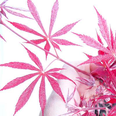 Outdoor bonsai - Acer palm. Atropurpureum-czerwony liść palmowy - 3