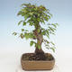 Outdoor bonsai -Carpinus CARPINOIDES - Koreański Grab - 3/5