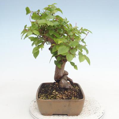Outdoor bonsai -Carpinus CARPINOIDES - Koreański Grab - 3