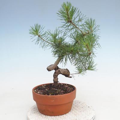 Outdoor bonsai - Pinus Sylvestris - sosna zwyczajna - 3