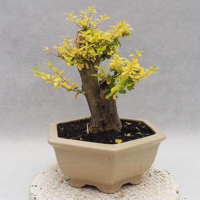 Indoor bonsai -Ligustrum Aurea - dziób ptaka - 3