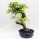 Kryty bonsai -Phyllanthus Niruri- Smuteň - 3/6