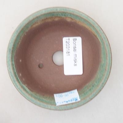 Kryty bonsai - Casuarina equisetifolia - skrzyp - 3