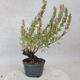 Outdoor bonsai - góra Satureja - Satureja montana - 3/5