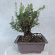 Outdoor bonsai - góra Satureja - Satureja montana - 3/6
