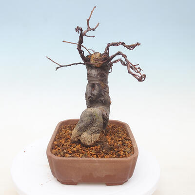 Outdoor bonsai - Pseudocydonia sinensis - Pigwa chińska - 3