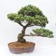 Outdoor bonsai - Pseudocydonia sinensis - Pigwa chińska - 3/7