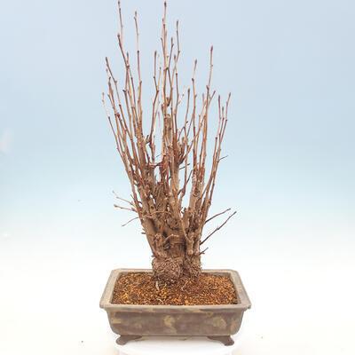 Outdoor bonsai - Ginkgo biloba - 3