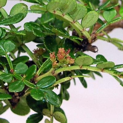 Kryty bonsai - Zantoxylum piperitum - Peppercorn - 3