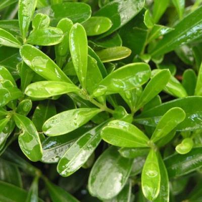 Pokój Bonsai - Buxus harlandii - Bukszpan korkowy - 3