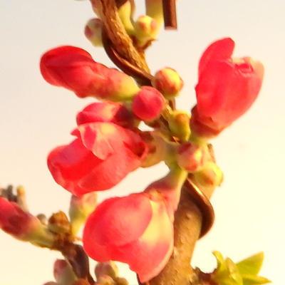 Outdoor bonsai - Chaneomeles japonica - japońska pigwa - 3