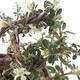 Outdoor bonsai-irga pozioma-Rockrose - 3/3