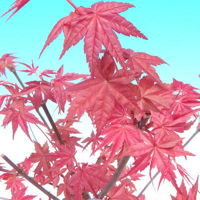 Outdoor bonsai - Maple palmatum DESHOJO - Klon palmowy - 3