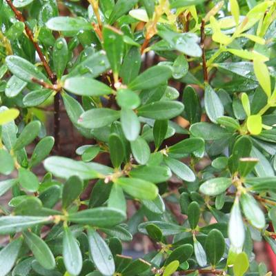 Kryty bonsai - Syzygium - Ziele angielskie - 3