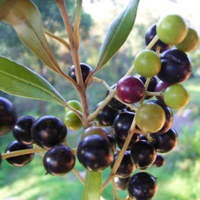 Kryte bonsai - Olea europaea sylvestris -Oliva european tiny - 3