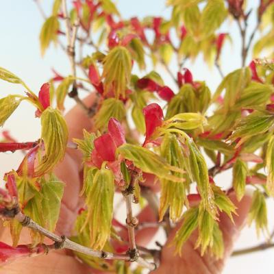 Acer palmatum Aureum - Golden Palm Maple VB2020-637 - 4