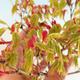 Acer palmatum Aureum - Golden Palm Maple VB2020-637 - 3/3