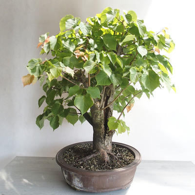 Outdoor bonsai - Lipa - Tilia cordata - 4
