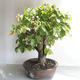Outdoor bonsai - Lipa - Tilia cordata - 4/5