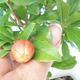 Pokój bonsai-PUNICA granatum nana-granat - 4/4