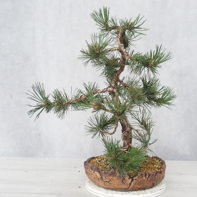 Outdoor bonsai - Pinus Mugo - Sosna klęcząca - 4
