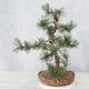 Outdoor bonsai - Pinus Mugo - Sosna klęcząca - 4/4