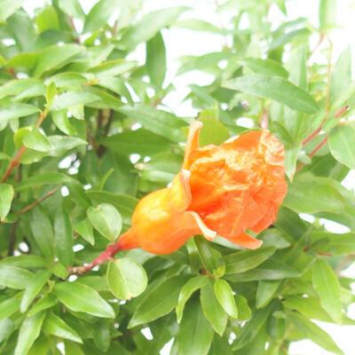 Pokój bonsai-PUNICA granatum nana-granat - 4