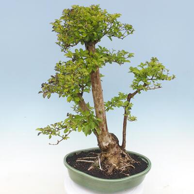 Bonsai do wnętrz - Duranta erecta Aurea - 4