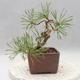Outdoor bonsai - Pinus sylvestris - Sosna zwyczajna - 4/4