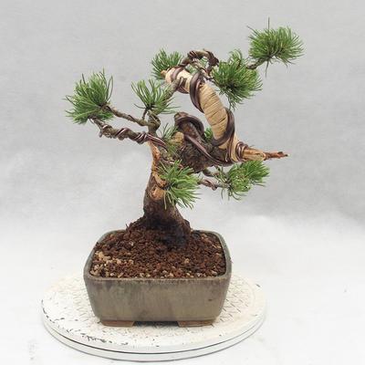 Outdoor bonsai - Pinus Mugo - Klęcząca Sosna - 4
