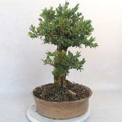 Outdoor bonsai - bukszpan - 4