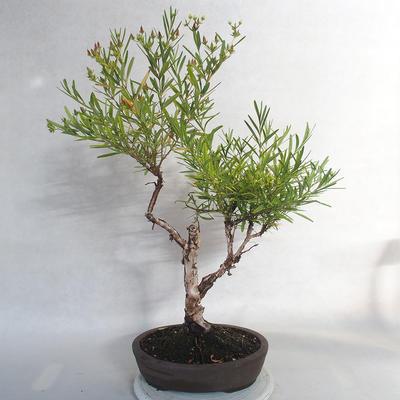 Outdoor bonsai- ziele dziurawca - Hypericum - 4
