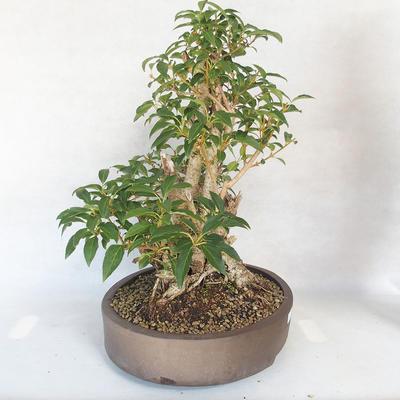 Outdoor bonsai - Forsycja - Forsycja - 4