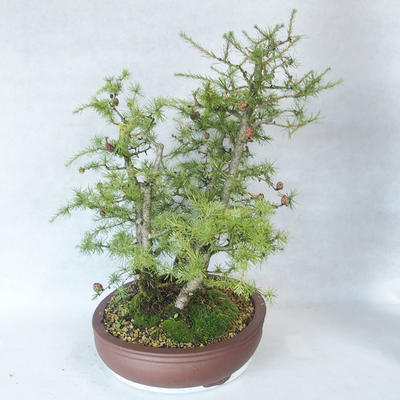Outdoor bonsai -Larix decidua - modrzew - 4
