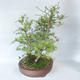 Outdoor bonsai -Larix decidua - modrzew - 4/5