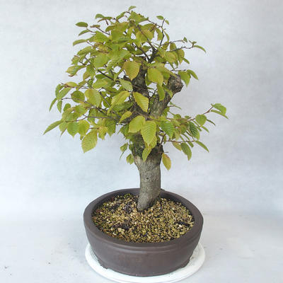Outdoor bonsai - grab - Carpinus betulus - 4