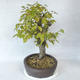 Outdoor bonsai - grab - Carpinus betulus - 4/5