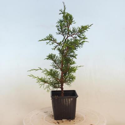 Outdoor bonsai - grab - Carpinus betulus - 4