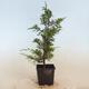 Outdoor bonsai - grab - Carpinus betulus - 4/5