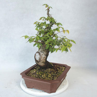 Outdoor bonsai-Ulmus Glabra-Solid Clay - 4